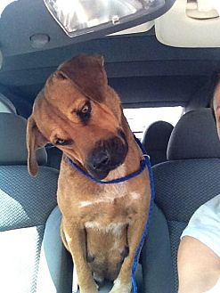 Boxer/Hound (Unknown Type) Mix Dog for adoption in Hixson, Tennessee - Harley