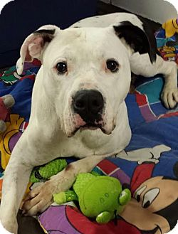 Boxer/American Pit Bull Terrier Mix Dog for adoption in Lake Odessa, Michigan - Mr. Bigg
