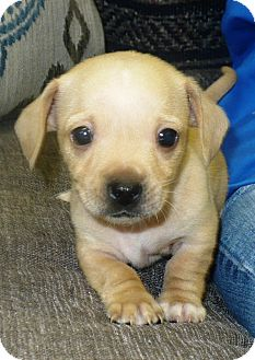 Chihuahua/Dachshund Mix Puppy for adoption in Eastpoint, Florida - Chiwienie pups
