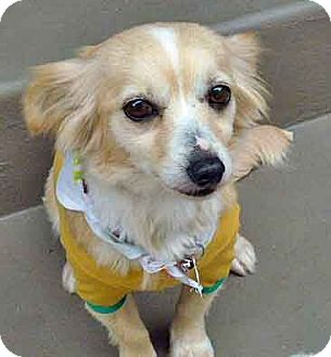Brittany/Pomeranian Mix Dog for adoption in Los Angeles, California - Missy