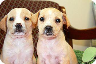 Labrador Retriever Mix Puppy for adoption in Windsor, Virginia - Judd