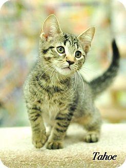 Domestic Shorthair Kitten for adoption in Ortonville, Michigan - Tahoe
