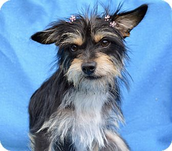 Yorkie, Yorkshire Terrier/Terrier (Unknown Type, Small) Mix Dog for adoption in Irvine, California - Stormy