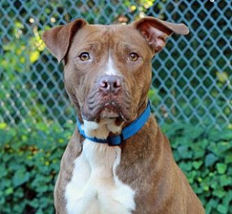 Pit Bull Terrier Mix Dog for adoption in Port Washington, New York - Olive
