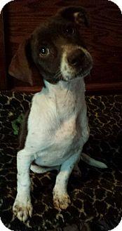 Spaniel (Unknown Type)/Setter (Unknown Type) Mix Puppy for adoption in Davisburg, Michigan - Sugar