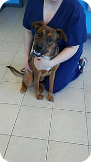 Shepherd (Unknown Type) Mix Dog for adoption in Lake Orion, Michigan - Maxwell