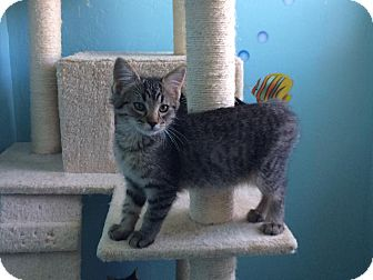Domestic Shorthair Kitten for adoption in Woodward, Oklahoma - Jeffery