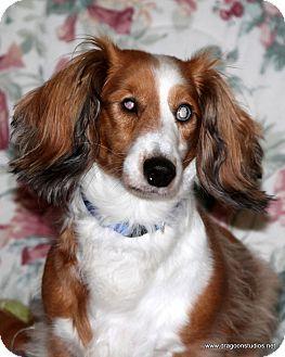 Dachshund Dog for adoption in Spokane, Washington - May, 5 yrs, dapple, $250