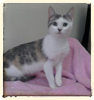 Domestic Shorthair Kitten for adoption in Trevose, Pennsylvania - Zion