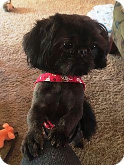 Shih Tzu/Pekingese Mix Dog for adoption in Eden Prairie, Minnesota - RICKY-pending