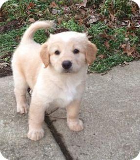 Golden Retriever Mix Puppy for adoption in Columbus, Ohio - Sunshine