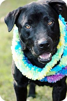 Labrador Retriever Mix Dog for adoption in East Hartford, Connecticut - Cassius in CT