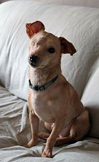 Feist Mix Dog for adoption in Asheville, North Carolina - Poppy