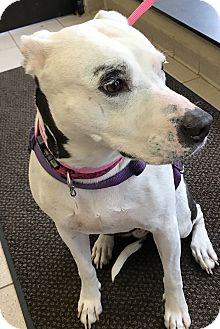 American Pit Bull Terrier/Dalmatian Mix Dog for adoption in Taylor, Michigan - MISTY