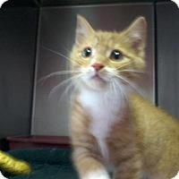 Adopt A Pet :: Elton John -Kitten Cutie - Arlington, VA
