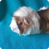 Adopt A Pet :: Aesop - Grand Rapids, MI