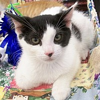 Adopt A Pet :: Inky Spot - Castro Valley, CA