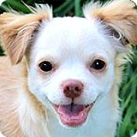 Adopt A Pet :: SKIPPY(OUR TINY LITTLE CUDDLER - Wakefield, RI
