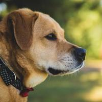 Labrador Retriever Mix Dog for adoption in Wisconsin Rapids, Wisconsin - Alley
