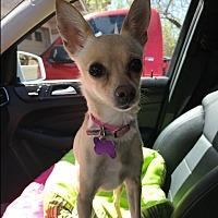 Chihuahua Mix Dog for adoption in Las Vegas, Nevada - Tassel