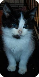 Domestic Shorthair Kitten for adoption in brewerton, New York - thadeus kitten