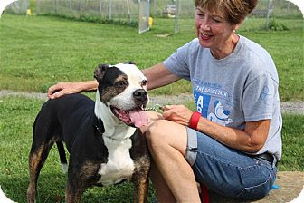 American Bulldog/Boxer Mix Dog for adoption in Elyria, Ohio - Lilly