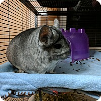 Adopt A Pet :: Ampersand - St. Paul, MN