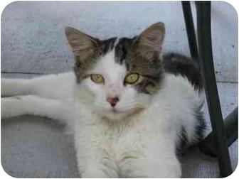 Domestic Mediumhair Cat for adoption in Vinton, Iowa - Mogely