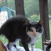 Adopt A Pet :: Gray - Brainardsville, NY
