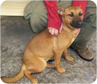 Shepherd (Unknown Type) Mix Puppy for adoption in Somerset, Pennsylvania - Maggie