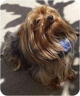 Yorkie, Yorkshire Terrier Dog for adoption in Orange, California - Desmond (Dessie)