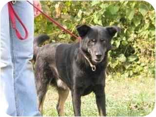 Australian Shepherd/Shepherd (Unknown Type) Mix Dog for adoption in Lancaster, Kentucky - Black Foot