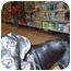Photo 4 - Beagle/Labrador Retriever Mix Puppy for adoption in LaCrosse, Wisconsin - Iyoko