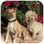 Photo 4 - Poodle (Miniature) Dog for adoption in Los Angeles, California - Molly