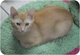 Domestic Shorthair Kitten for adoption in Byron Center, Michigan - Sandford