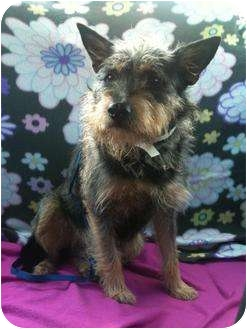 Terrier (Unknown Type, Small)/Schnauzer (Miniature) Mix Dog for adoption in Arlington, Texas - Elroy