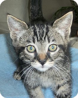 Domestic Shorthair Kitten for adoption in North Highlands, California - Mopsey