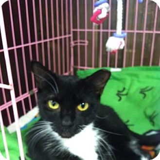 Domestic Shorthair Cat for adoption in Hamburg, New York - Roxie