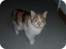 Domestic Shorthair Cat for adoption in Hamburg, New York - Adele