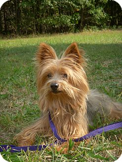 Yorkie, Yorkshire Terrier Dog for adoption in Greensboro, Maryland - Loki
