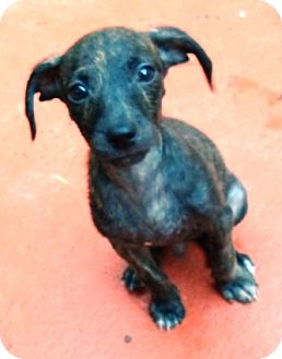 Chihuahua/Terrier (Unknown Type, Small) Mix Puppy for adoption in Ocala, Florida - Joey JoJo