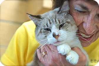 Siamese Cat for adoption in Houston, Texas - Hemingway