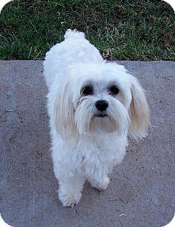 Maltese/Yorkie, Yorkshire Terrier Mix Dog for adoption in San Angelo, Texas - Sammy