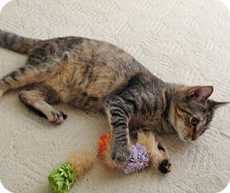 Domestic Shorthair Cat for adoption in Reston, Virginia - Paula