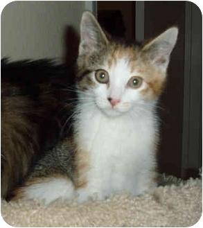 Calico Kitten for adoption in Sacramento, California - Sienna