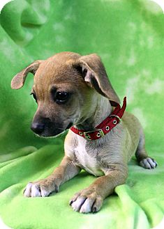 Dachshund/Chihuahua Mix Puppy for adoption in Westminster, Colorado - Frogger