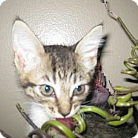Adopt A Pet :: Aria - Clearfield, UT