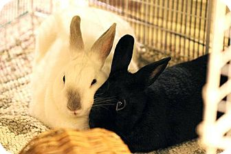 Himalayan for adoption in Boynton Beach, Florida - Kiki and Bunny