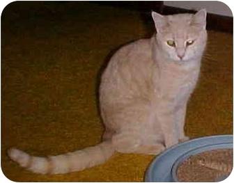 Domestic Shorthair Cat for adoption in Metamora, Indiana - Creamer