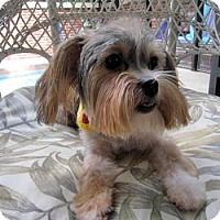 Adopt A Pet :: Chibi - Leesburg, FL